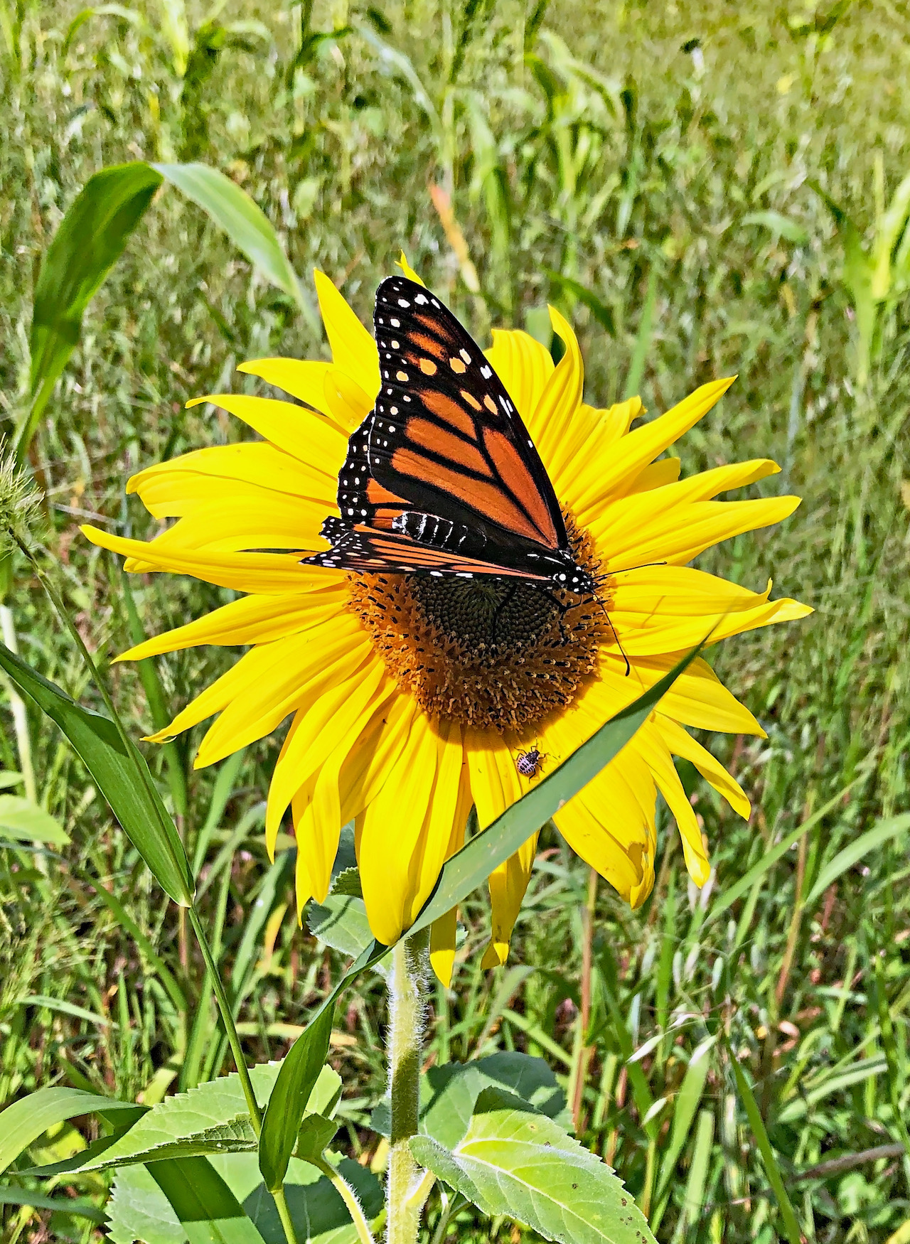 Monarch in the breeze (photo)